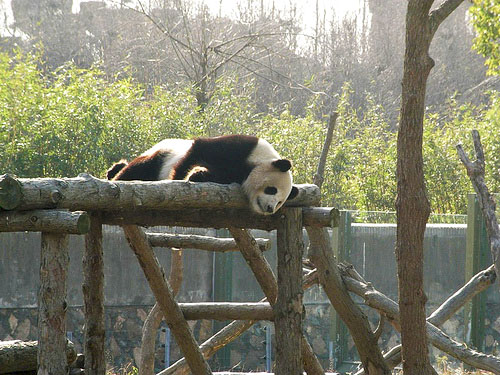 Shanghai Wild Animal Park-panda