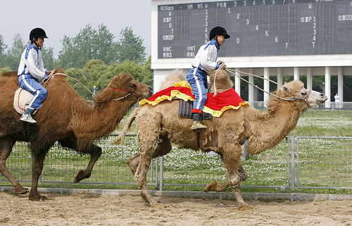 Shanghai Wild Animal Park_ride camels
