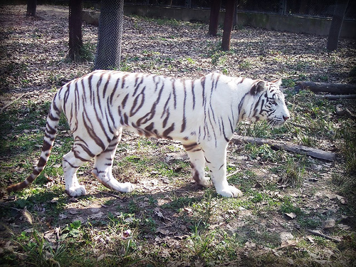 Shanghai Wild Animal Park_white tiger